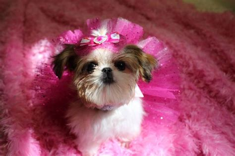 shih tzu puppies for sale in new orleans imperial shih tzu puppies for sale imperial shih tzu