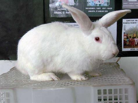 Harga Pakan Kelinci Hias kelinci new zealand white kelinci perkelincian rabbit
