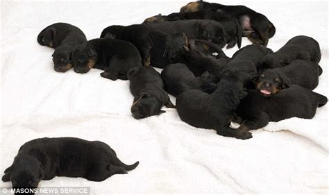 Recorded Birth Rottweiler Recorded Breeds Picture
