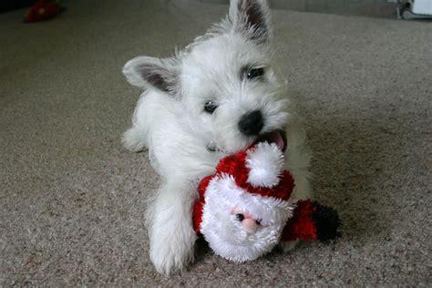 santa paws dogs  christmas  pics