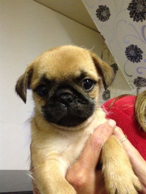 pug x shih tzu puppies for sale ready now pug x shih tzu puppies oxford oxfordshire pets4homes