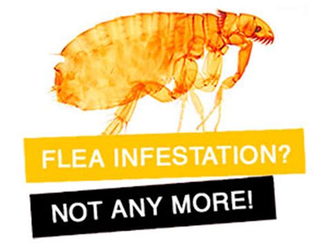flea infestation house how to kill fleas in house in my kitchen