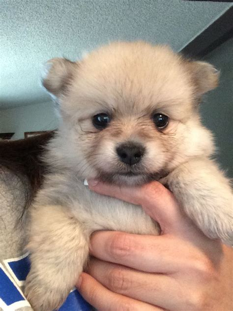 teddy pomeranian rescue teddy pomeranian dogs pictures to pin on pinsdaddy
