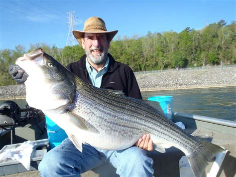 Tennessee Records Big Fishes Of The World Bass Striped Morone Saxatilis