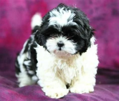 shih tzu puppies for sale ontario 1000 images about puppies on puppy pictures ontario and german shepherd
