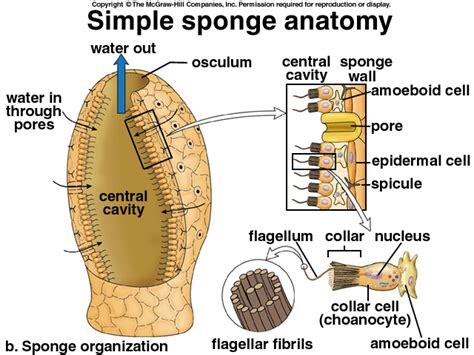 diagram of sponge simple sponge anatomy