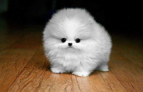 tiny puffy for pinterest cute puffy malteser pup p e t s i white dogs pinterest