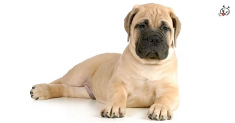 bullmastiff puppies for sale bullmastiff puppies for sale puppies 4 all
