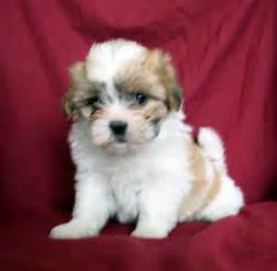 puppies for sale in florida teddy puppies for sale pompano fl puppies for
