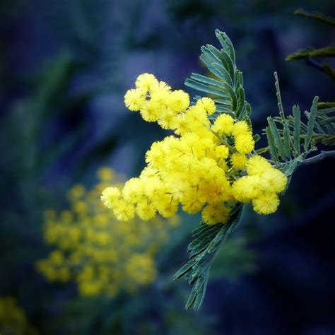 foto mimosa fiore mimosa acacia dealbata acacia dealbata piante da