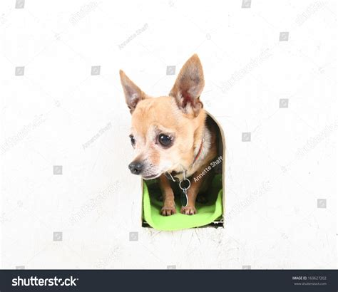 chihuahua dog house a cute chihuahua in a dog house stock photo 169627202