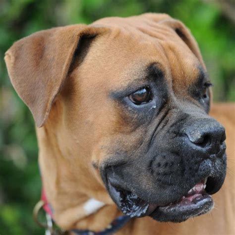 fawn boxer puppies about boxers west coast boxer rescue