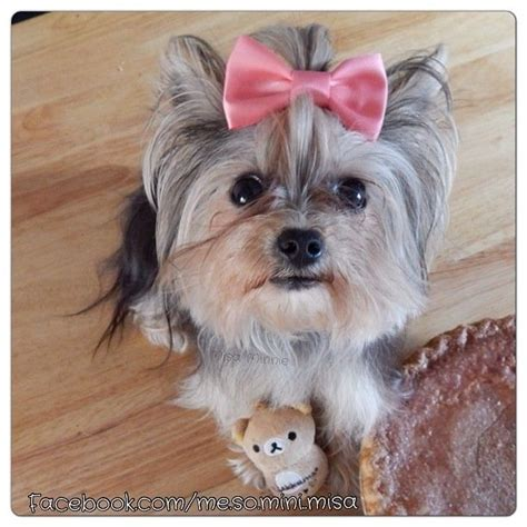 misa yorkie 175 best images about misa minnie on cutest dogs and yorkie