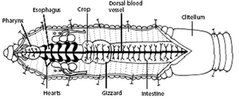 Earthworm Diagram And Label Leech The Digestive System In The Nine Phyla