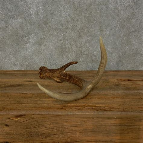 Shed Horns For Sale by Whitetail Deer Antler Shed For Sale 16209 The Taxidermy