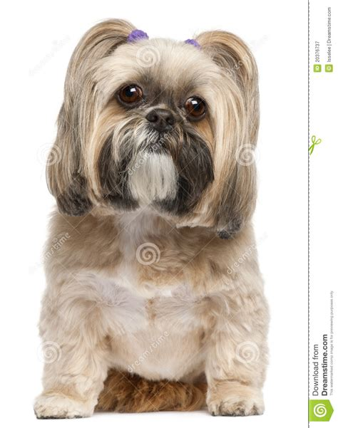 shih tzu sitting shih tzu 6 years sitting royalty free stock photography image 20376737