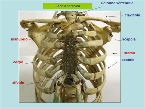 gabbia toracica umana apparato scheletrico tronco colonna vertebrale vertebre
