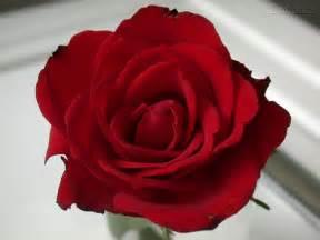 imagenes de rosas sangrientas plantas ornamentais rosas