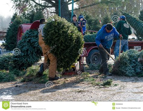 working at a christmas tree farm editorial stock image