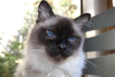 For Cats by Siamese Cat Names Purrfect Cat Names