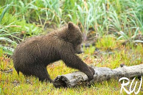 grizzly bear cubs playing funny grizzly bear cubs playing funny animal