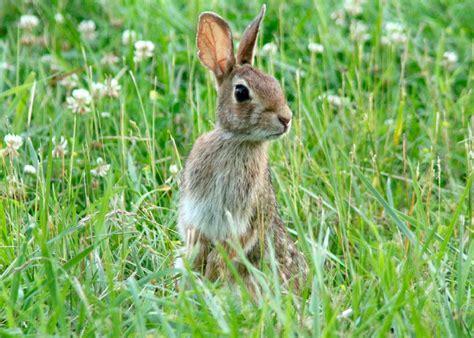 conejo de fuego 2016 la ausencia de conejos silvestres alimento b 225 sico para