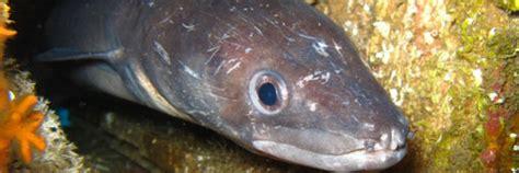 comment cuisiner le congre poisson le congre un monstre des grands fonds menac 233