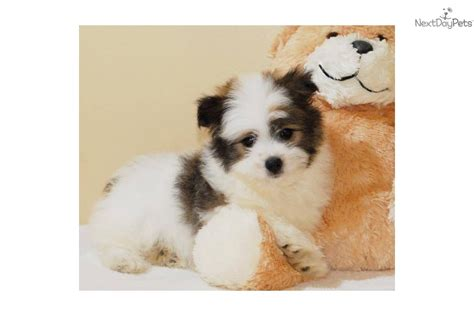 malti pom puppies for sale malti pom maltipom puppy for sale near columbus ohio 2ca3e9a1 63b1