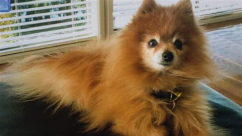 pomeranian attack it was disturbing owner of killer dogs speaks out after