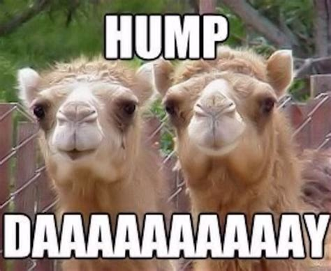 Hump Day Camel Meme - collaboration cuties june 2014