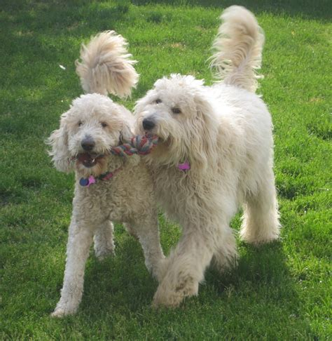 mini goldendoodle traits golden doodle facts reanimators