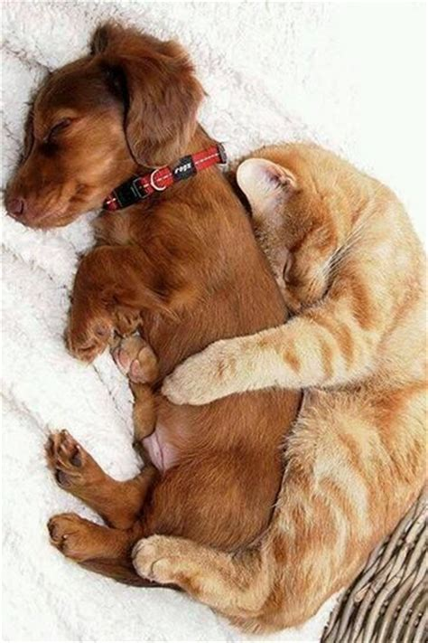 puppy and kitten cuddling cuddling cat and pictures photos and images for and