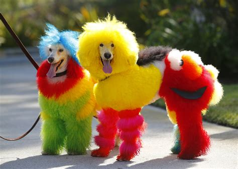 rainbow poodles dog groomer catherine opson s colorful pets