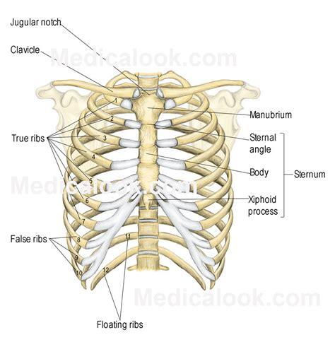 diagram rib cage rib cage human anatomy organs