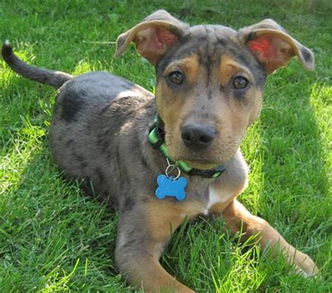 catahoula puppy linus the catahoula leopard puppies daily puppy