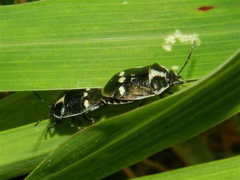 vas regione lombardia pentatomidae eurydema oleracea della lombardia va
