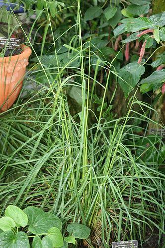 genus cymbopogon 183 naturewatch nz