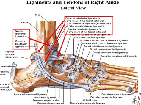 foot ligaments diagram diagrams of the foot labeled diagram site