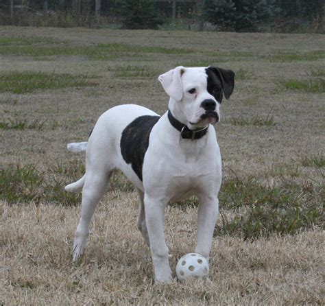 American Bulldog Shedding by American Bulldog Breeder Informations And Pictures