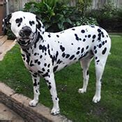 Do Dalmations Shed by Dalmatian Borrowmydoggy Leaving Pawprints Of Happiness