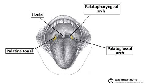 oropharynx diagram the pharynx subdivisions blood supply teachmeanatomy
