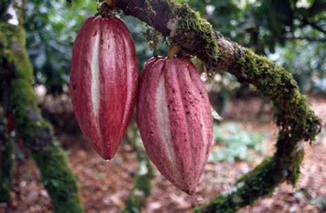 cocoa tree fruit cocoa or cacao theobroma cacao fruit crops