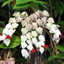 Adenium Bunga Merah Putih Single Tumbuh Dari Benih Bibit Murni 1 tanaman antanan besar whorled pennywort bibitbunga