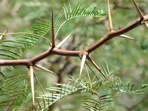 20090614 mesquite tree thorns this mesquite tree has the l