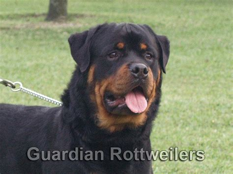 rottweiler studs near me rottweiler breeders miami photo