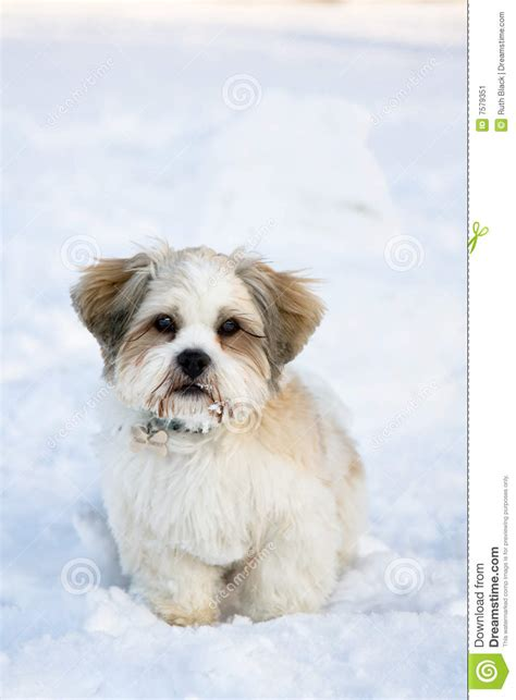 puppy in the lhasa apso puppy in the snow stock image image 7579351