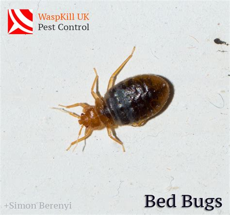 How Bed Bugs Live by How Can Bed Bugs Survive For In Your Home