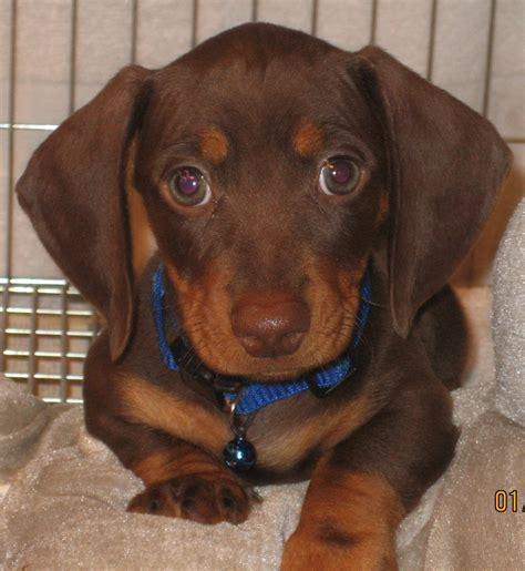 dachshund puppies ta chocolate and dapple dachshund www pixshark