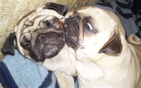 what problems do pugs pugpugpug what of problems do pugs