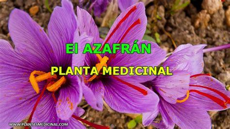 libro la flor del azafrn el azafr 225 n propiedades y beneficios youtube